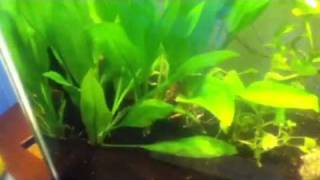 Aquatic Plants Review: Amazon Sword