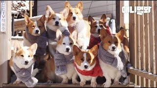 Welsh Corgi Dogs Made A Group Purchase Of Mufflers For Winter