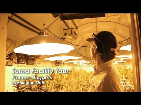 Pioneer Nuggets - Cannabis Cultivation Facility Tour - Washington State