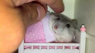 Tucking my hamster in her tiny bed but she'll only sleep after getting a massage!