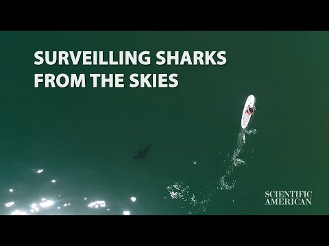 Drones Capture Close Encounters between Great White Sharks and Beachgoers