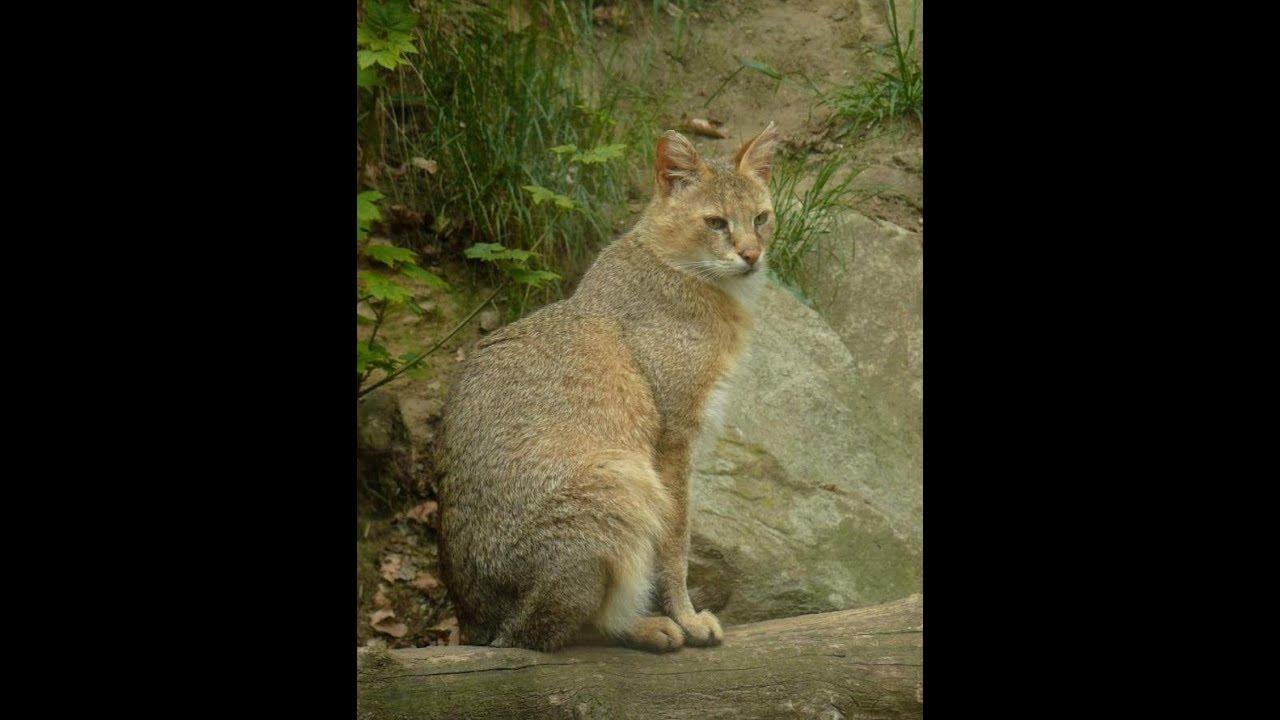 Камышовый кот (болотная рысь)