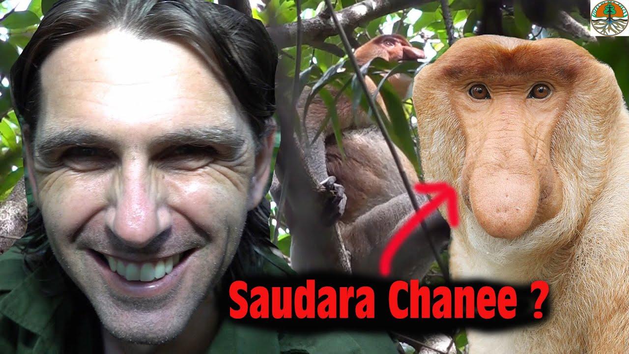 """Le primate que l'on surnomme à Bornéo : """"Le singe hollandais"""" !"""