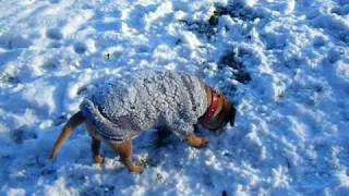 Ricky The Border Terrier In The Snow