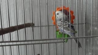 Волнистый попугай мальчик или девочка ?