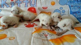 У тайских котят на 8-9-й дни от рождения глазки почти полностью открылись!Тайские кошки - это чудо!