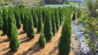 [주말농부] 에메랄드 그린 나무 판매. 에메랄드그린 울…