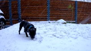 George Staffordshire Bull Terrier