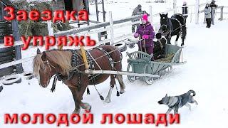 Приучаем к хомуту и шлее молодую лошадь. Подготовка к заездке в сани.