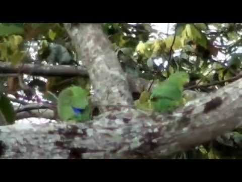 Blue-winged Parrotlet, Forpus xanthopterygius, Brazilian fauna,