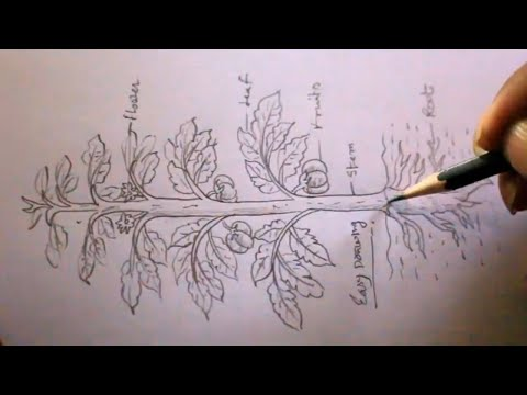 How TO Draw Different Part Of Plant Step By Step/draw A Tomato Tree/for School Project