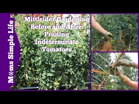 Before and After of Pruning the Indeterminate Tomatoes
