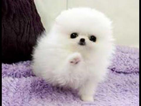 [SUPER CUTE DOG] POMERANIAN PUPPY - il cucciolo più tenero ...