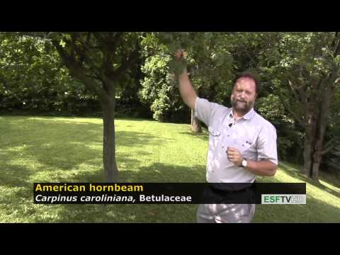 Trees With Don Leopold - American Hornbeam