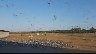 South Africa's black champion pigeon racer