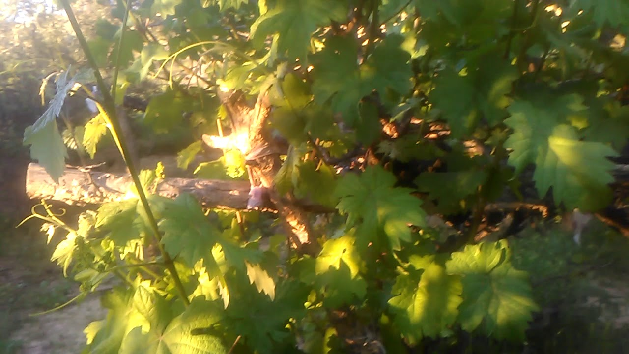 Asma yaprağının faydaları