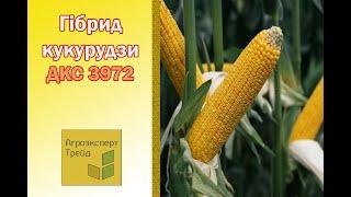 Кукуруза ДКС 3972  🌽 - описание гибрида 🌽, семена в Украине