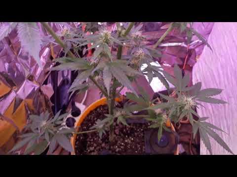 Какие я использую удобрения , ~5 неделя цветения.