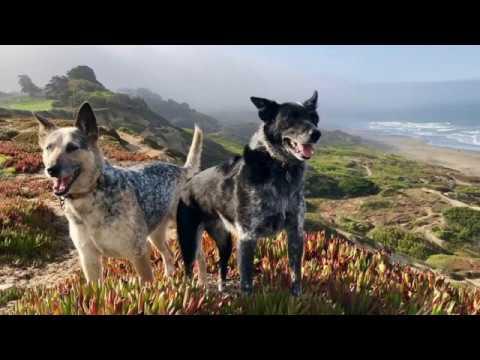 Texas Heeler - medium size dog breed
