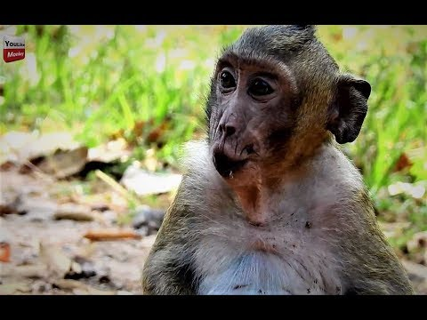 Sweetpea will die soon without milk, Popeye almost has baby now Youlike Monkey 702