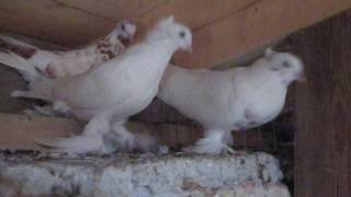 андижанские бойные голуби видео