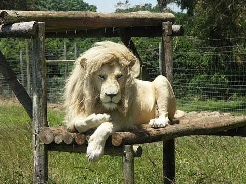 10 Amazing Facts about White Lions - YouTube