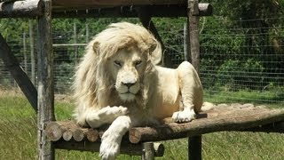 10 Amazing Facts about White Lions