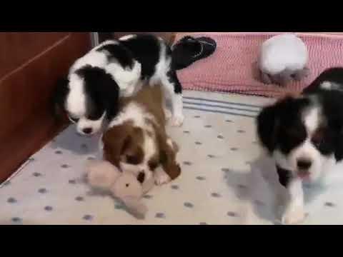 Cavalier king charles spaniel szczeniaki patchy dogs