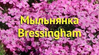 Мыльнянка базиликолистная. Краткий обзор, описание характеристик saponaria ocymoides Bressingham