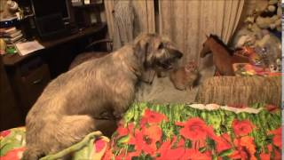 Irish wolfhound, cat and baby