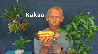 Kakao Bohnen Samen erste Erfahrung Kakao Schote ansehen und neue Aussaat