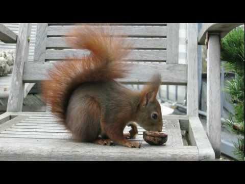 Eichhörnchen finden Nüsse auf Terrasse / Red squirrels find nuts on a terrace [HD]