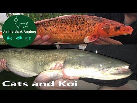 Catfish Fishing At Anglers Paradise - With Bonus Koi Carp!