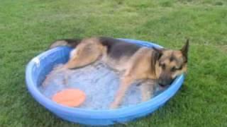 My German Shepherd Playing In His Pool