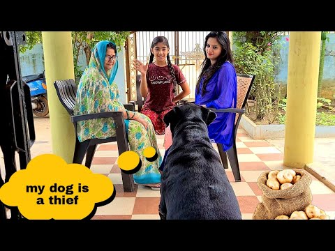 My Rottweiler is a thief||my dog steals every thing||funny dog video