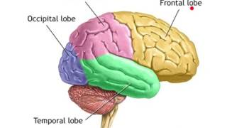 The Four Lobes of the Brain