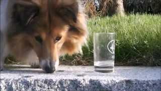 Shetland Sheepdog Daisy - dog tricks