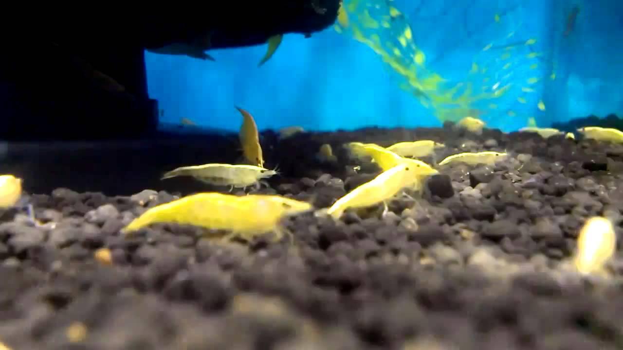 Cardinal Shrimps At Kurla Mumbai Youtube