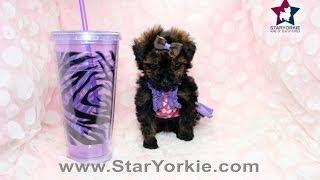 Chocolate Color Teacup  Maltipoo Puppy Zara By Staryorkie.com