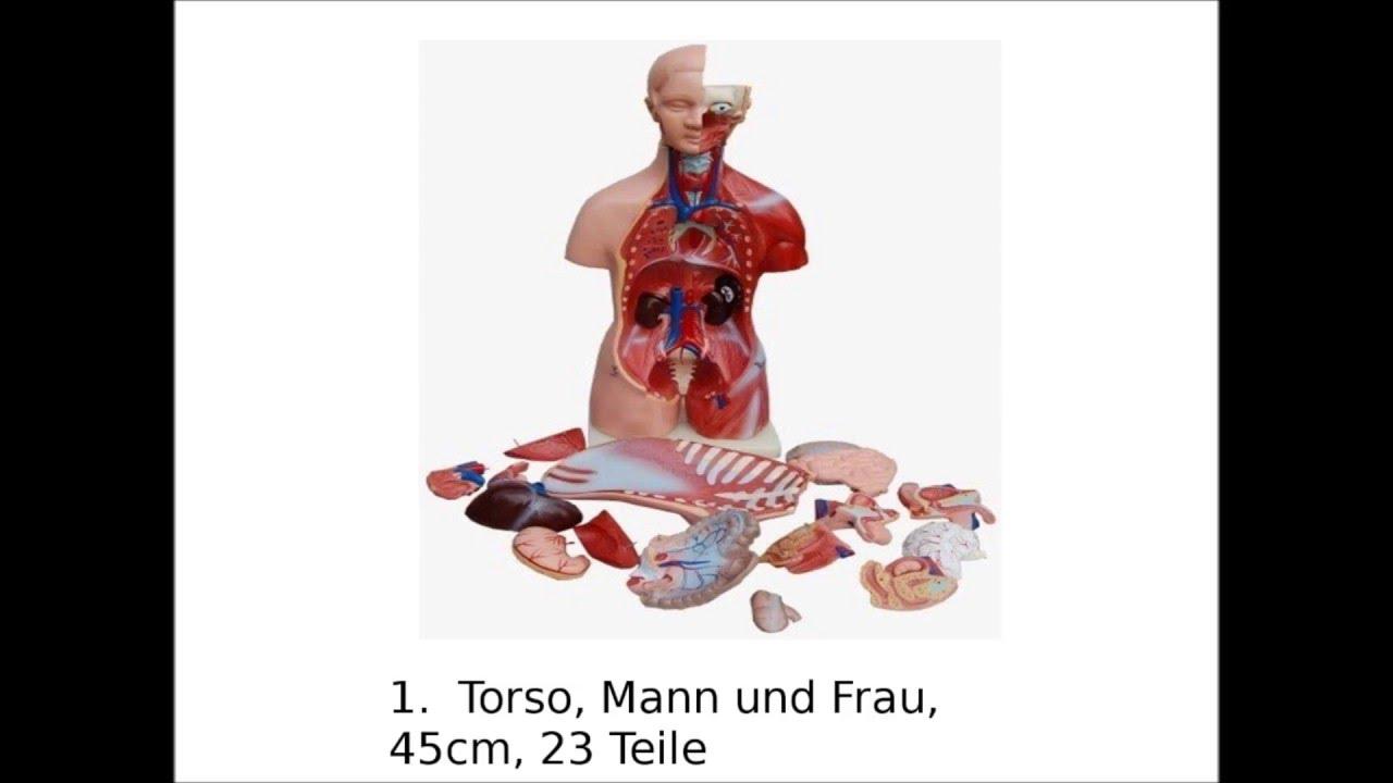 Anatomie Modelle im Vergleich - YouTube