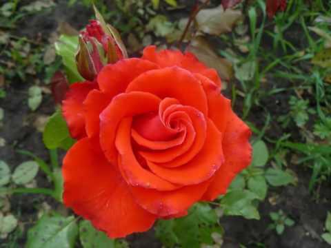 Розы в саду у Наташи Костиной. Цветы в саду. Красивые фото.