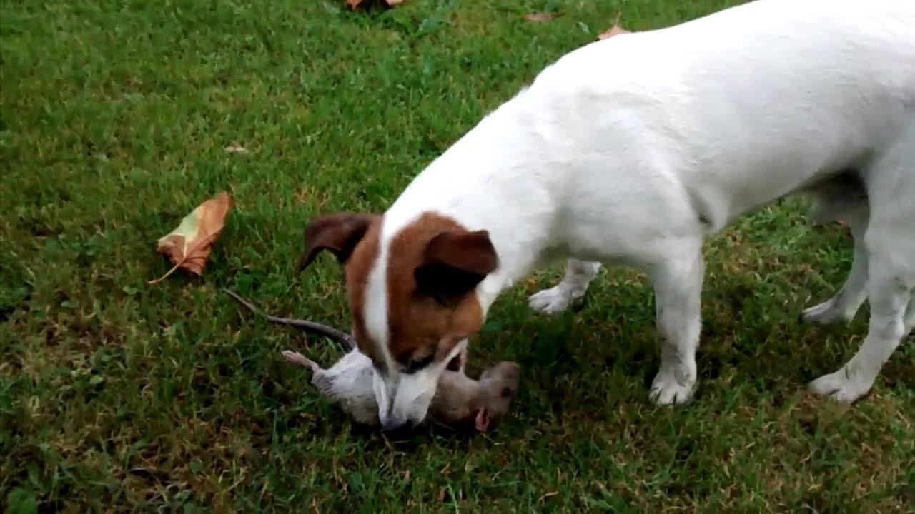 Jack russel kills a rat youtube - Jack russel queue coupee ...