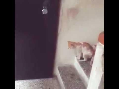 سبحان الله قط يطرق الباب قبل الدخول   Amazing Cat l   2016   l.