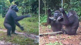 A Young Gorilla's Reactions to his Reflections in Mirrors In Gabonese Jungle : a Dancer? a Drummer?