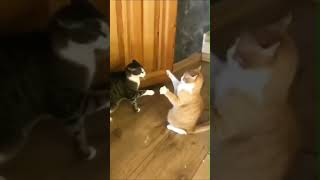 Funny meeting of cats 🐾🐱 funny cat video 😂 #shorts