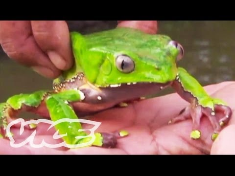 Tripping On Hallucinogenic Frogs (Part 1/3)