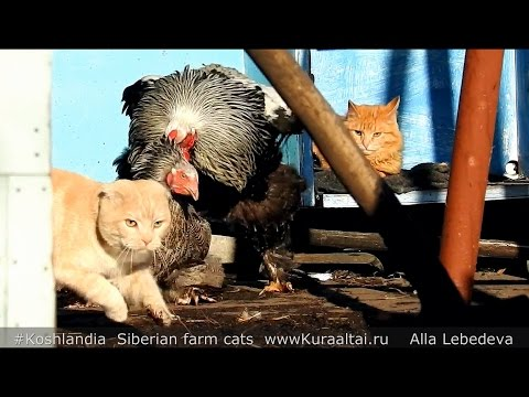 12+ Horror, poultry-yard and scottish fold cat Ужасы Птичьего двора или ВИСЛОУХИЙ пришёл в гости