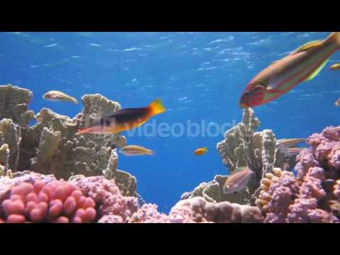 COLORFUL UNDERWATER OFFSHORE ROCKY REEF WITH CORAL AND SPONGES AND SMALL TROPICAL FISH SWIMMING BY I