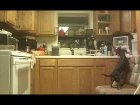 Dog trying to get food on the top of the stove and kitchen counter
