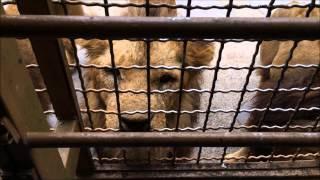 説明アフリカンサファリでライオンに餌あげ中喧嘩!!